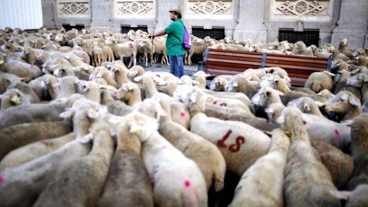 Más de 500 ovejas merinas reivindicarán la transhumancia