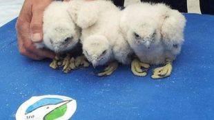 Los tres nuevos polluelos han sido anillados este viernes