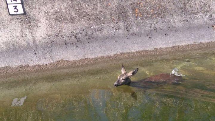 Liberada una corza que se había quedado atrapada en un canal
