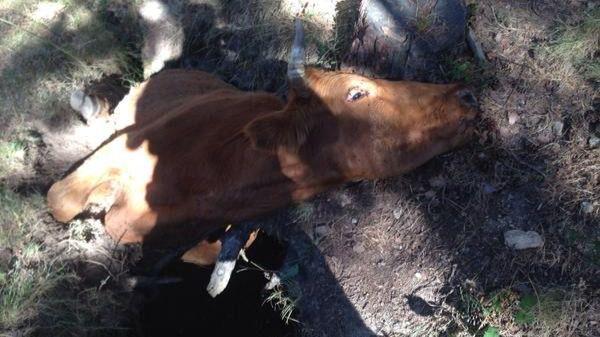 Agentes forestales liberan a una vaca atrapada en una cárcava en la sierra de La Morcuera