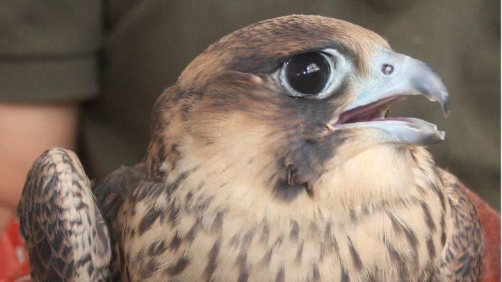 Muere por disparos uno de los halcones peregrinos nacidos este año en la capital