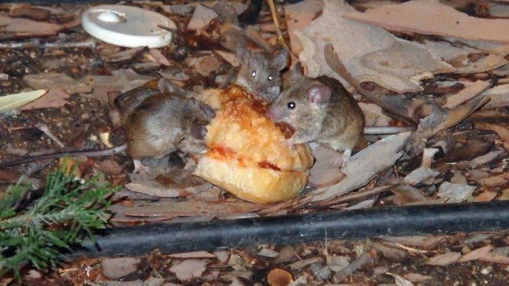Plaga de ratones en Tirso de Molina