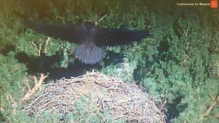 El buitre negro más popular de la Sierra de Guadarrama, Brisa, levanta el vuelo