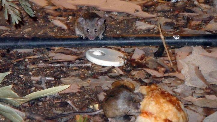 Más avisos por ratas y chinches porque