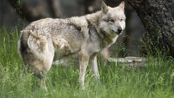 La Comunidad construirá refugios en en el parque de Guadarrama para evitar los daños por ataques de lobos