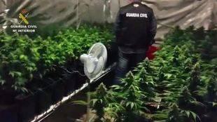 Detenido un hombre en Humanes por cultivar 301 plantas de marihuana