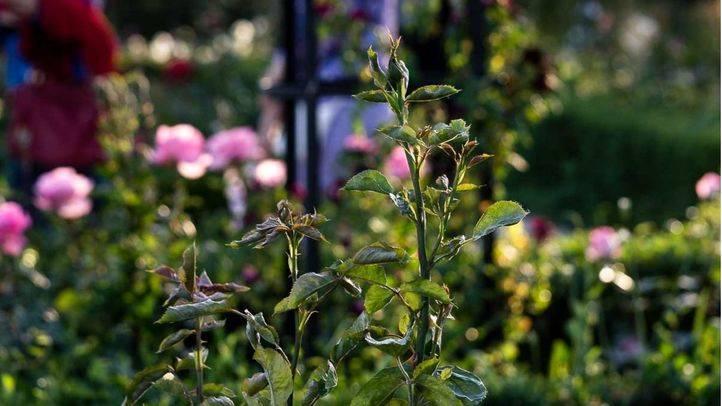 La Rosaleda, jardín del parque El Retiro en Madrid, con un aspecto descuidado  y delustrado con flores arrancadas, secas y no florecidas.