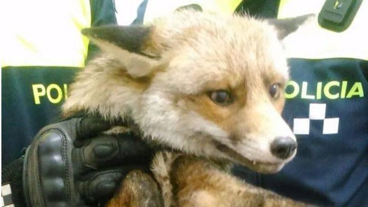 Encuentran un zorro en el Liceo Francés