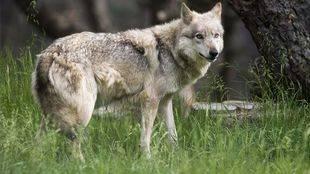 Un ejemplar de lobo en una foto de archivo.