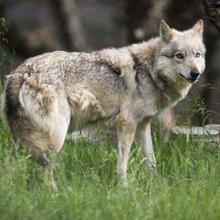 Una loba, atropellada cuando intentaba cruzar la A-1