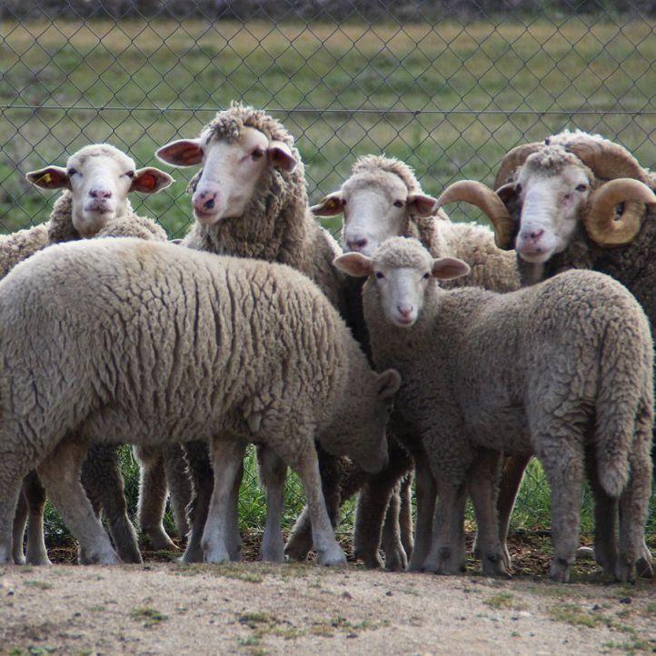 Foto de archivo de ovejas pastando