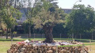 Olivo en memoria de las víctimas del accidente del vuelo JK5022 de Spanair