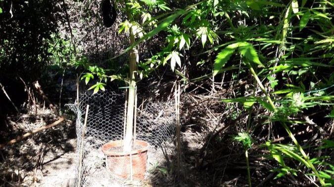 Una de las plantas halladas en la Casa de Campo.