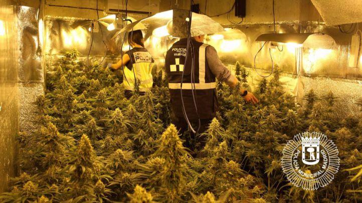Plantación de marihuanas en Moratalaz.