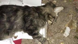 Uno de los gatos supuestamente envenenados en Villalba