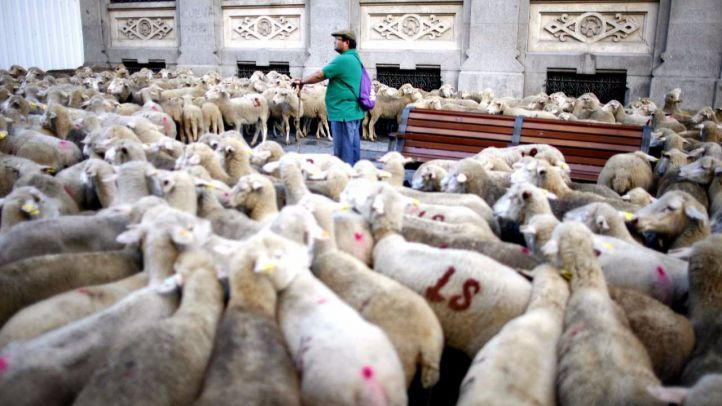 Más de mil ovejas invaden las calles de la capital