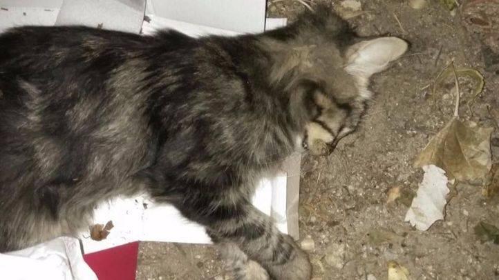 Uno de los gatos supuestamente envenenados en Villalba en septiembre