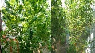 Plantas de marihuana intervenidas en un domicilio de Vicálvaro