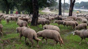 Foto de archivo de ovejas