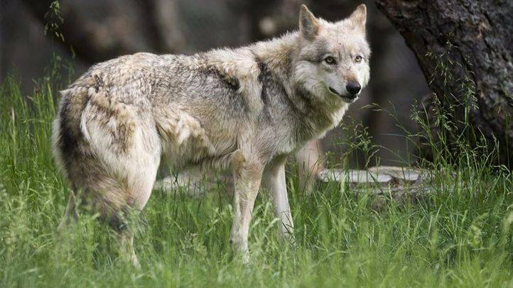 El lobo, protagonista en La Casa Encendida