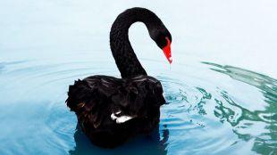 La teoría del Cisne Negro, ¿qué dice?