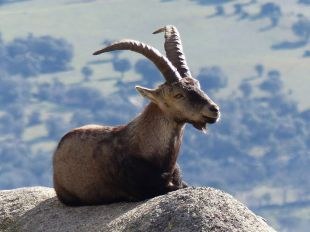 Sobrepoblación de cabra montés en Guadarrama