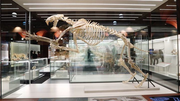Exposición 'La Colina de los Tigres Dientes de Sable. Los yacimientos miocenos del Cerro de los Batallones' en el Museo Arqueológico Regional