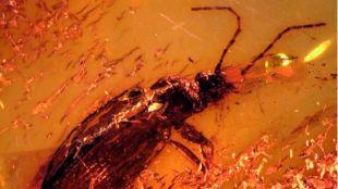 Con estrés y sin antena: así murió un escarabajo hace 40 millones de años