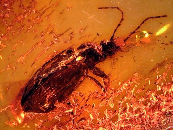 Imagen del Limodromus emetikos fosilizado en la pieza de ámbar.