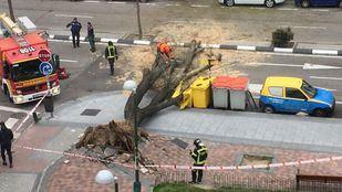 Caída de un árbol en la calle Caramuel, 52