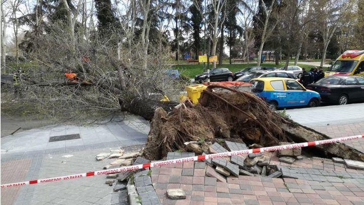 Los árboles madrileños se desploman