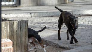 Un niño de 19 meses, mordido por un pitbull suelto en Alpedrete