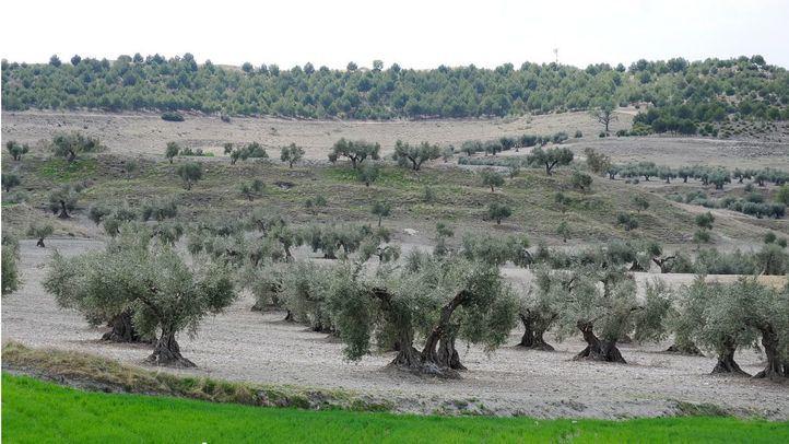 Un olivar, en foto de archivo.
