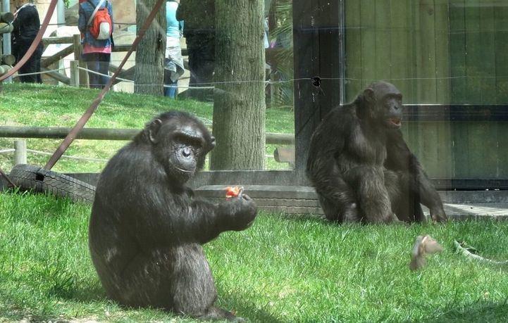 Luky y Gris, chimpancés en el Zoo de Madrid