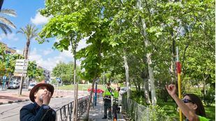Tratamiento con mariquitas de las plagas de pulgón en 250 árboles de tres barrios de Leganés