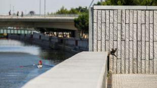 Cierre de la presa 9 de Madrid Rio para embalsar el agua y se pueda practicar remo olímpico, pero que ha hecho revertir el proceso de renaturalización.