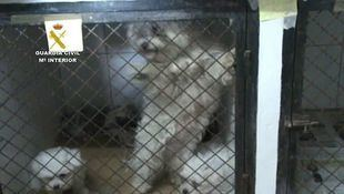 Muchos de los perros, de razas labrador, bichón maltés, chihuahua, pomerania y yorkshire, estaban enfermos.