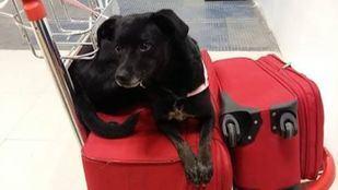 Piny, la perra perdida en Barajas durante una escala de Iberia