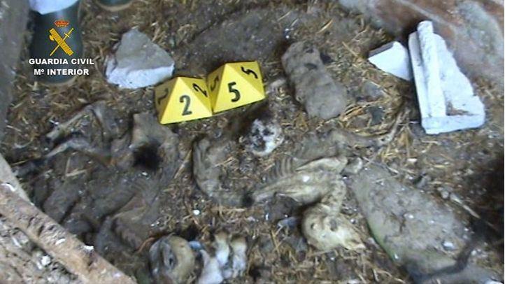Halladas una veintena de cabras en estado de descomposición