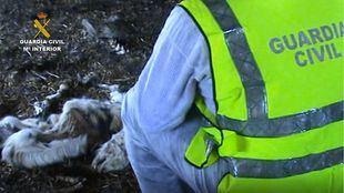 Halladas en una finca una veintena de cabras en descomposición