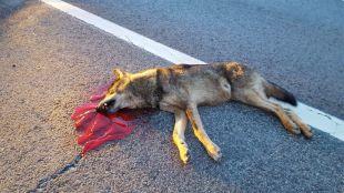 Un lobo muere atropellado en la Sierra