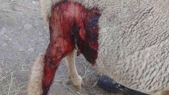 Madrid deberá pagar 25.000 euros a un ganadero por un ataque de lobo