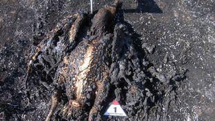 El estado en el que quedó el buitre leonado que se electrocutó en un tendido eléctrico en Soto del Real