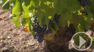 La uva madrileña, a punto: comienza la vendimia