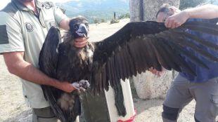 Liberado un buitre negro rescatado en Rascafría