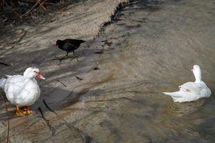 Una pareja de gansos comparten espacio con una gallineta o polla de agua.