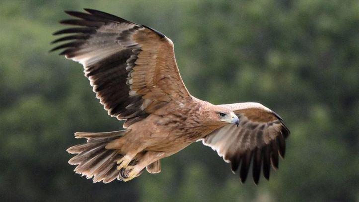 Aparece un águila imperial ibérica electrocutada en Abantos