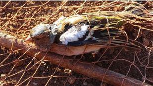 Captura de un ave de la familia de los fringílidos.
