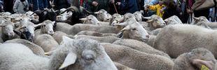 Más de 1.500 ovejas llegan este viernes a Guadarrama