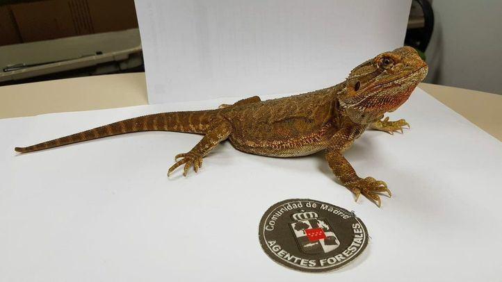 Agentes forestales recogen un dragón barbudo en un chalet de Guadarrama